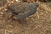 Cape Spurfowl or Cape Francolin — Stock Photo