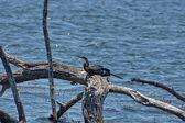 African Darter or Snakebird — Foto Stock