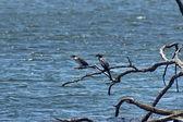 Fisherbirds in Pilanesberg National Park — Foto Stock