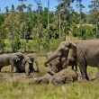 Elephants make mud bath in Chapel &Lapa reserve — Stock Photo