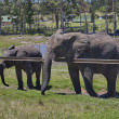 Elephants await eats in Chapel & Lapa reserve — Stock Photo
