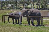 Elephants await eats in Chapel & Lapa reserve — Stock Photo