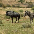Africblue wildebeest and zebra — Stock Photo #35242315