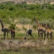 Stock Photo: Group of giraffes