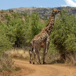 Stock Photo: Giraffe in Pilanesberg National Park