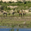 Group of giraffes by pond — Stock Photo #35242347