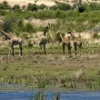 Stock Photo: Group of giraffes by pond