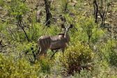 Female kudu antelope — Stock Photo