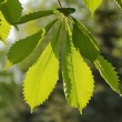 Sunlight play of horse chestnut leaf in garden — Stock Photo #38918407