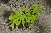 Young horse chestnut trees in bosom of the tree — Stock Photo