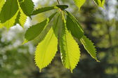 Sunlight play of horse chestnut leaf in garden — Stock Photo