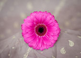Gerber Daisies — Stock Photo