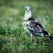 Sandpiper looking at camera — Stock Photo