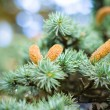 Pine cones — Stock Photo #15781951
