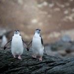 podbradní pásek tučňáků v Antarktidě — Stock fotografie
