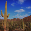 Stock Photo: Saguaro National Park - Arizona