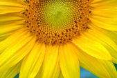 Close-up of a sunflower — Stock Photo