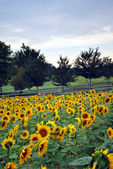 Country Sunflower Field — Stock Photo