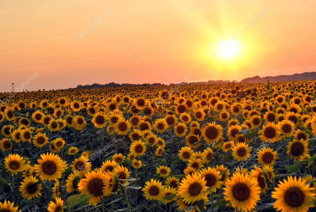 Campo di girasole foto stock 12594323 for Girasoli tumblr