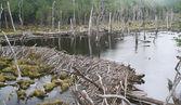 Beaver dam — Stock Photo