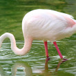 Flamingo reflection — Stock Photo #18607609
