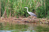 The heron — Stock Photo