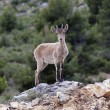 Stock Photo: Spanish deer