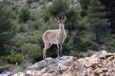 Spanish deer — Stock Photo