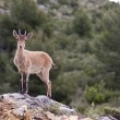 Stock Photo: Deer in nerpio