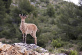 A deer in nerpio — Stock Photo