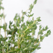Stock Photo: Sprigs of thyme