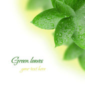 Green leaves with water drops — Stock Photo