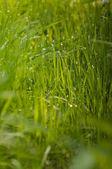 Gotas de orvalho em uma grama verde, foco seletivo — Foto Stock