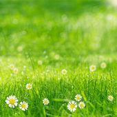 зеленая трава и ромашки в лучах солнца — Стоковое фото