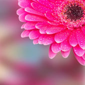 Part of a flower gerbera with dew drops selective focus — Stock Photo