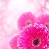 Pink gerbera close up with bokeh effect — Stock Photo