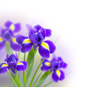 Beautiful irises on a white background — Stock Photo