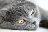 Close-up snout of gray british cat, selective focus — Stock Photo