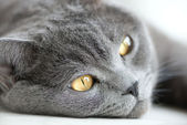 Close-up snout of gray british cat, selective focus — Stock Photo