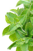 Branch of fresh mint isolated on white — Stock Photo