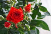 Bush of red roses, close-up — Stock Photo