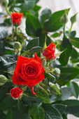 Bush of red roses, vertical — Stock Photo