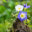 Little colorful spring flowers on a tree stump — Stock Photo