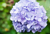 Blue hydrangea flower — Stock Photo