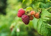 Ripe raspberries in the garden — Stock Photo