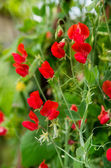Bunch of red sweet peas blossom — Stock Photo