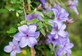 Light purple clematis flowers — Stock Photo