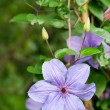 Stock Photo: Light purple clematis flower