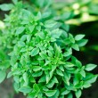 ������, ������: Fresh clove basil herb growing in garden