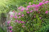 Gypsophila pink flowers — Stock Photo